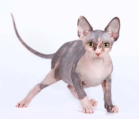 Коты-сфинксы не имеют шерсти, поэтому очень чувствительны к температурному режиму