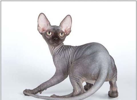 """У """"сфинксов"""" крепкое мускулистое тело, большие уши"""