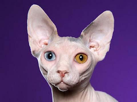 Сфинксы могут быть с разными окрасами кожи и цветом глаз