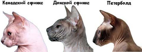 Известны три популярные разновидности кошек-сфинксов: канадская, петербургская и донская породы