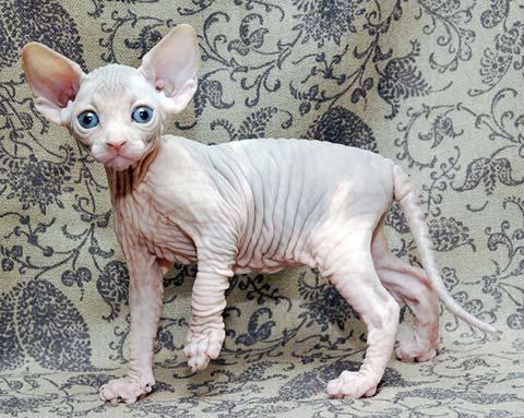 Котята-сфинксы очень послушны и ласковы