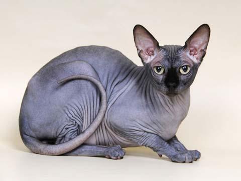 Сфинксы - очень умные и сообразительные коты