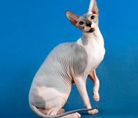 порода кошек сфинксы