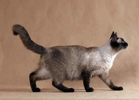 Тайские кошечки очень игривы и любопытны
