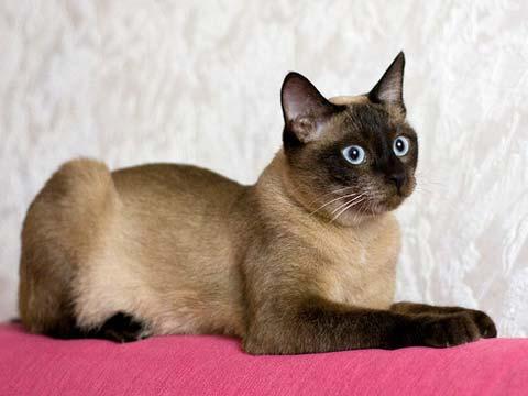 Кошки тайской породы - самые верные друзья
