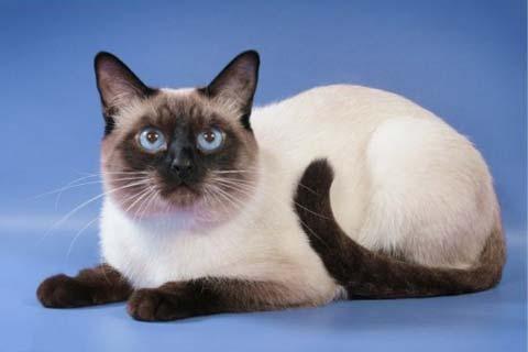 Красота тайских кошек зависит от правильного питания и несложного ухода