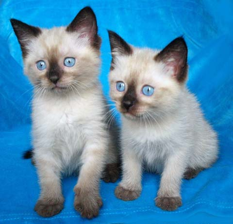 Тайские котята - лучшие друзья малышей