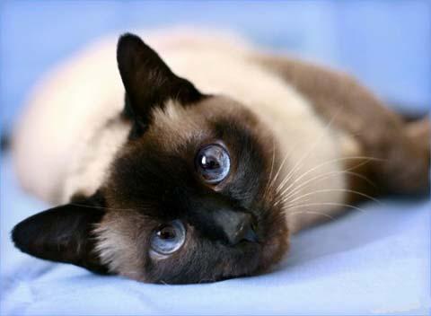 Хозяин тайской кошки - обладатель умного, преданного и ласкового животного-долгожителя