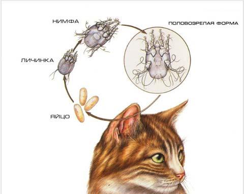 ушная инфекция у кошек
