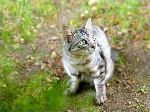 Кошки, часто гуляющие на улице , чаще заражаются чумкой