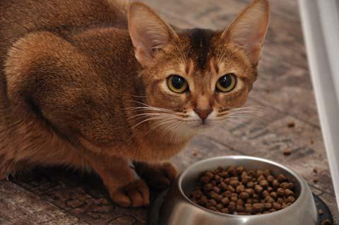 кормление кошки кормом