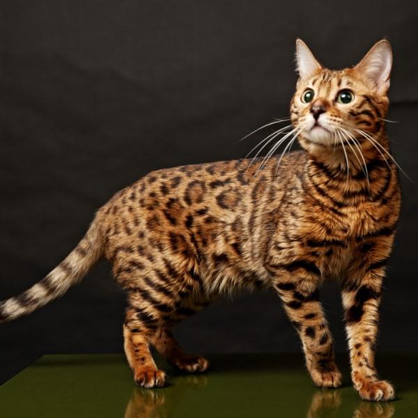 Бенгальская-кошка22