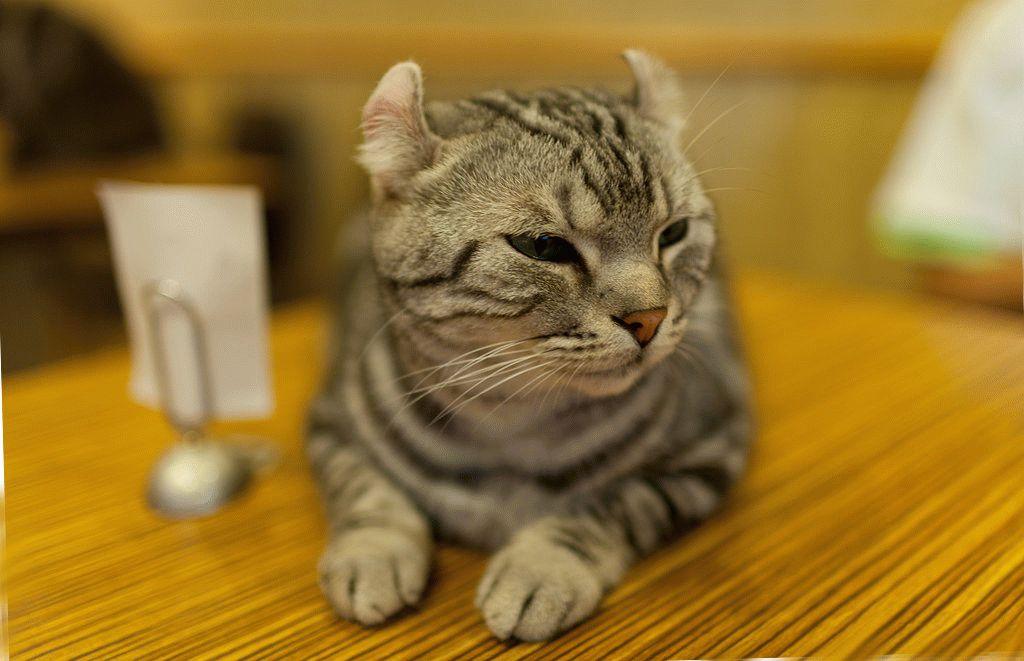 Кошка-американский-керл-фото