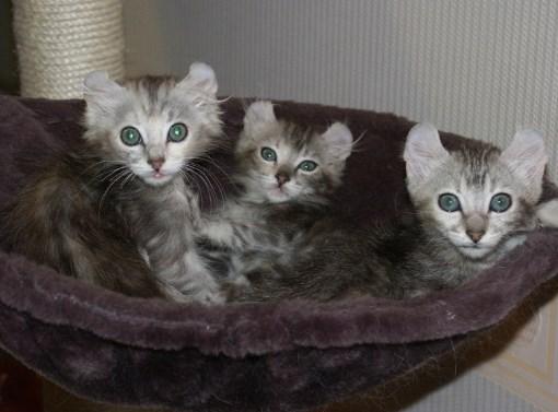 амер. керл котята