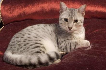 Порода кошек Египетская Мау