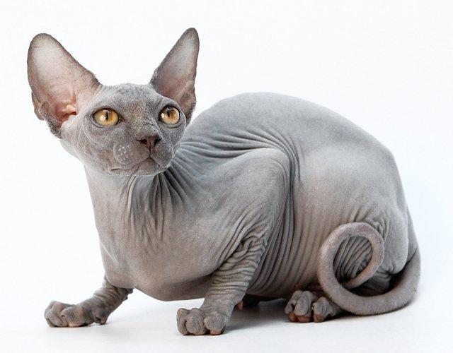 кот породы дон сфинкс
