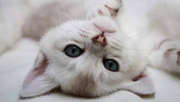 голубоглазый котенок
