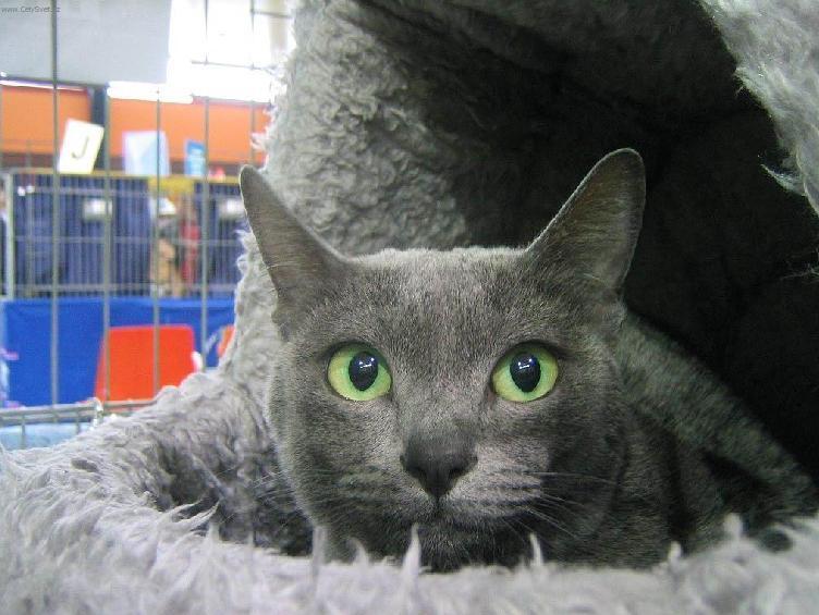 порода домашней кошки Корат