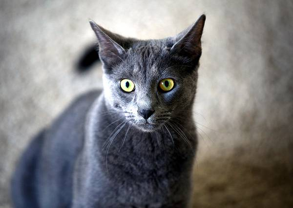 серый кот Корат