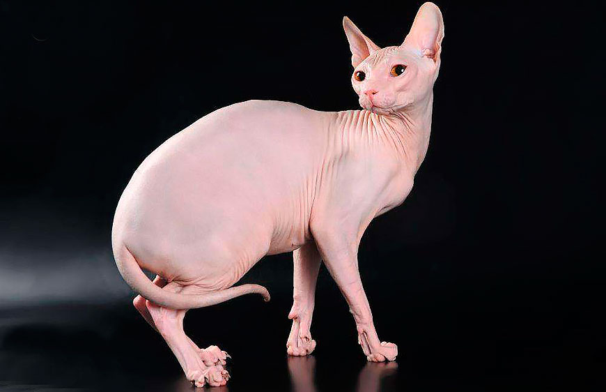 лысая кошка, донской сфинкс