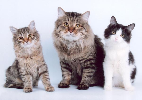 три кота породы курбоб