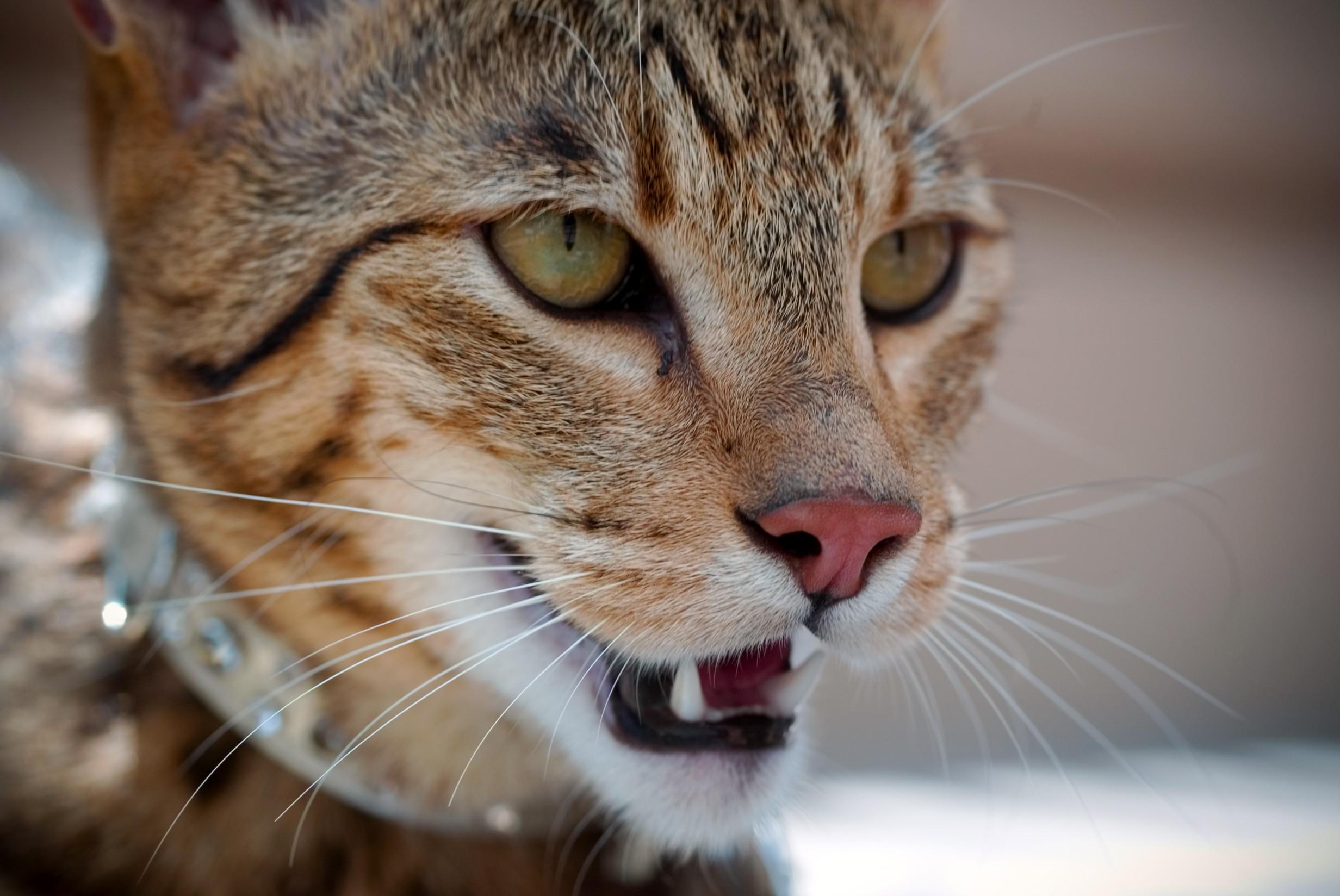 голова кошки ашера