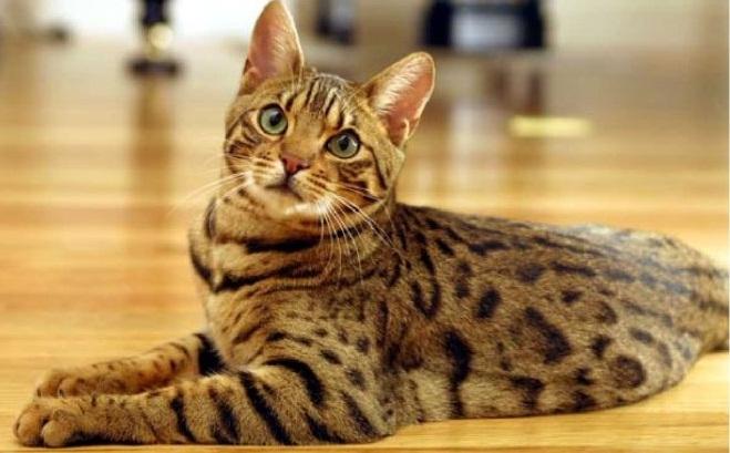 кошка ашера на полу
