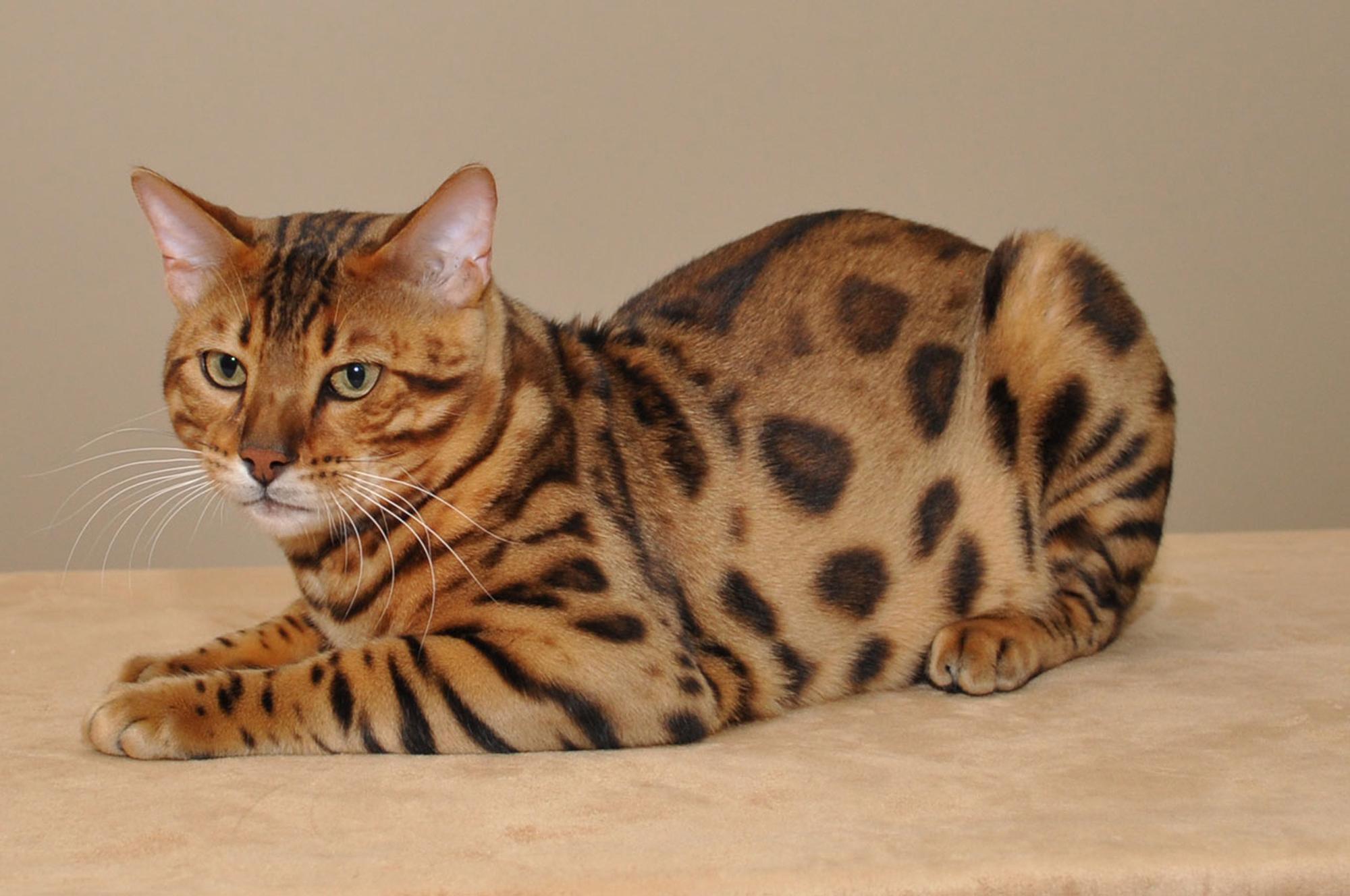 кошка бенгальская сидит