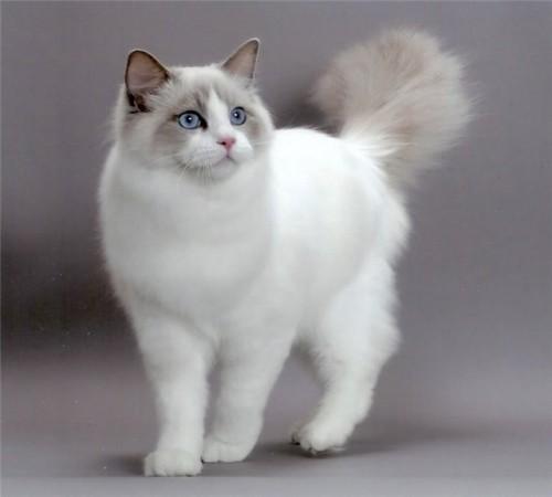 белая бирманская кошка