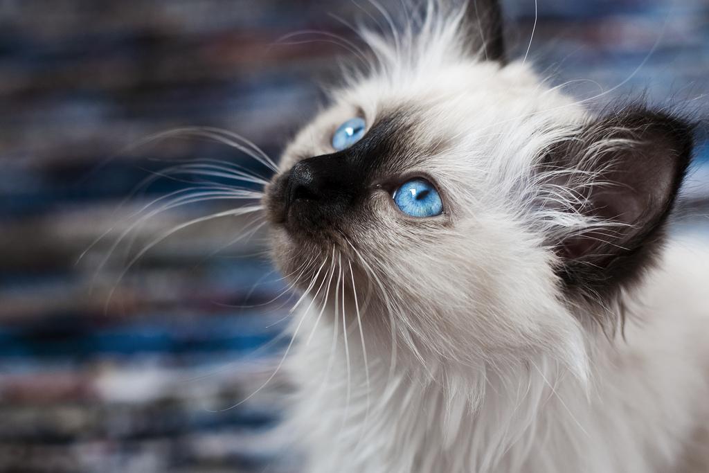 голубые глаза бирманской кошки