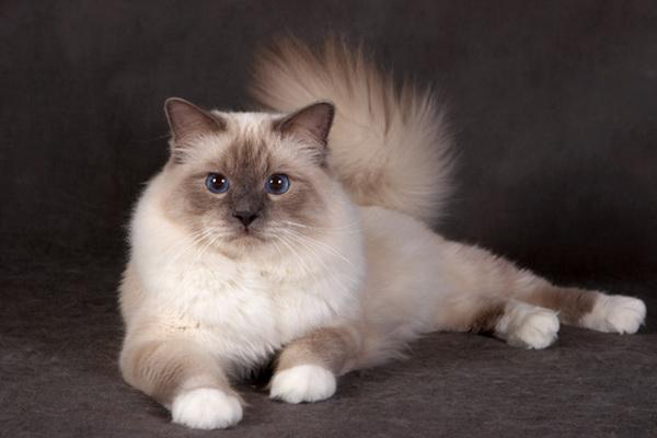 полу-коричневая бирманская кошка