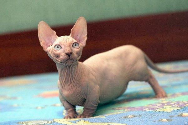 Редкая порода карликовых голых кошек - бамбино