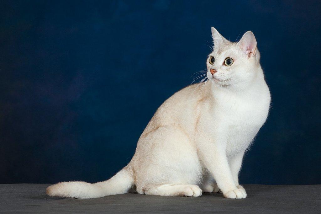 Бурмилла порода кошек