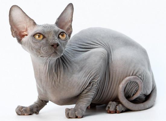 фото кошка канадский сфинкс