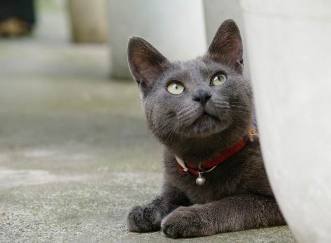 кот,приносящий удачу - корат