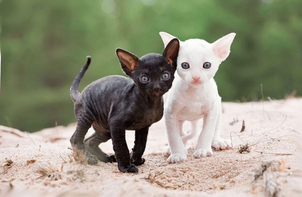 маленькие котята корниш рекс