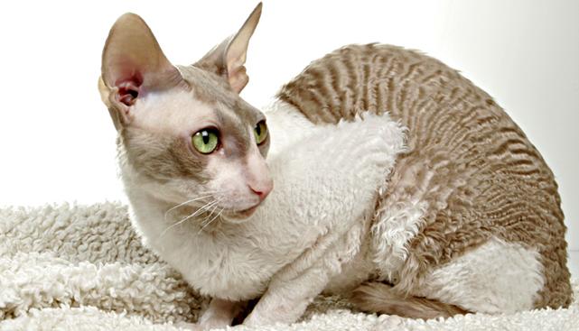взрослый кот корниш ренкс