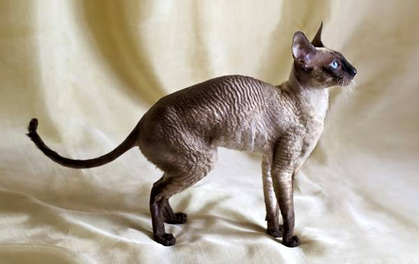 темный кот корниш рекс