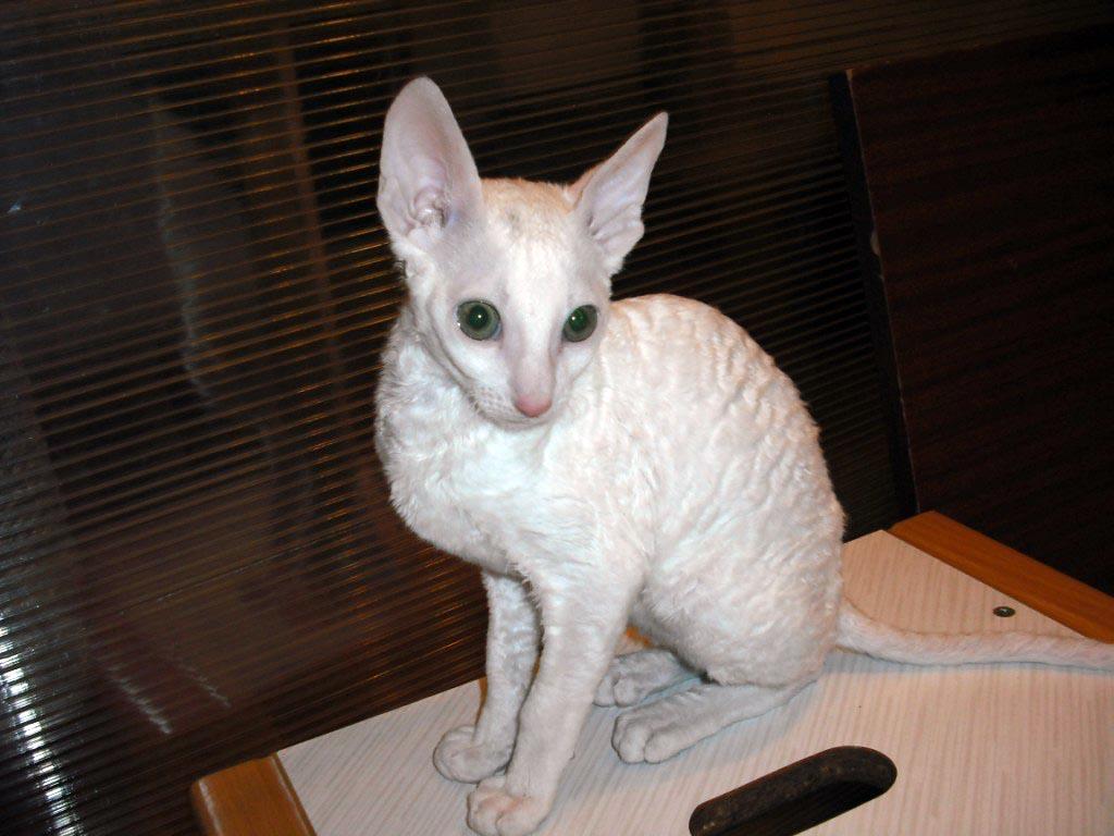 белая кошка корниш рекс