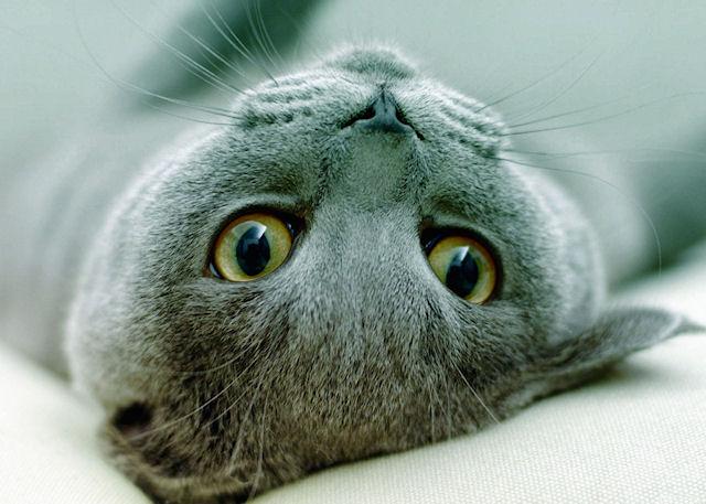 кошачья порода Корат
