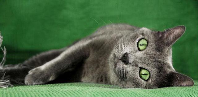 зеленоглазый корат