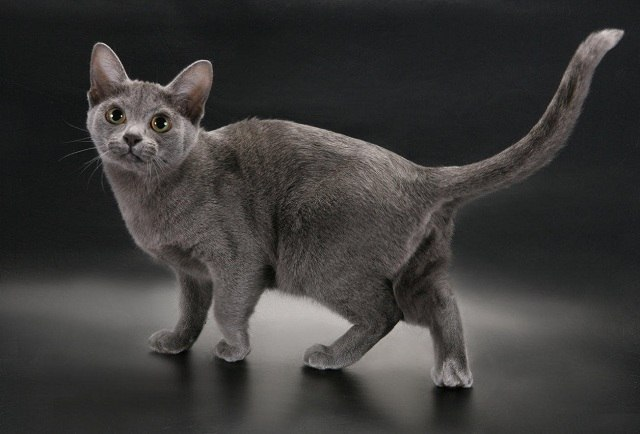 корат кошка с серым окрасом