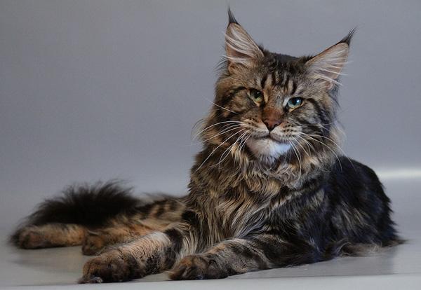 дорогая кошка мейн-кун