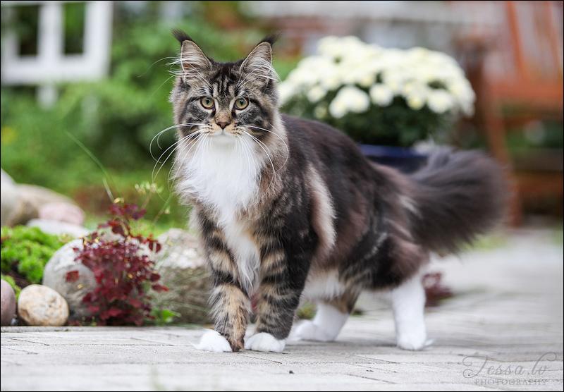 большая кошка мейн-кун