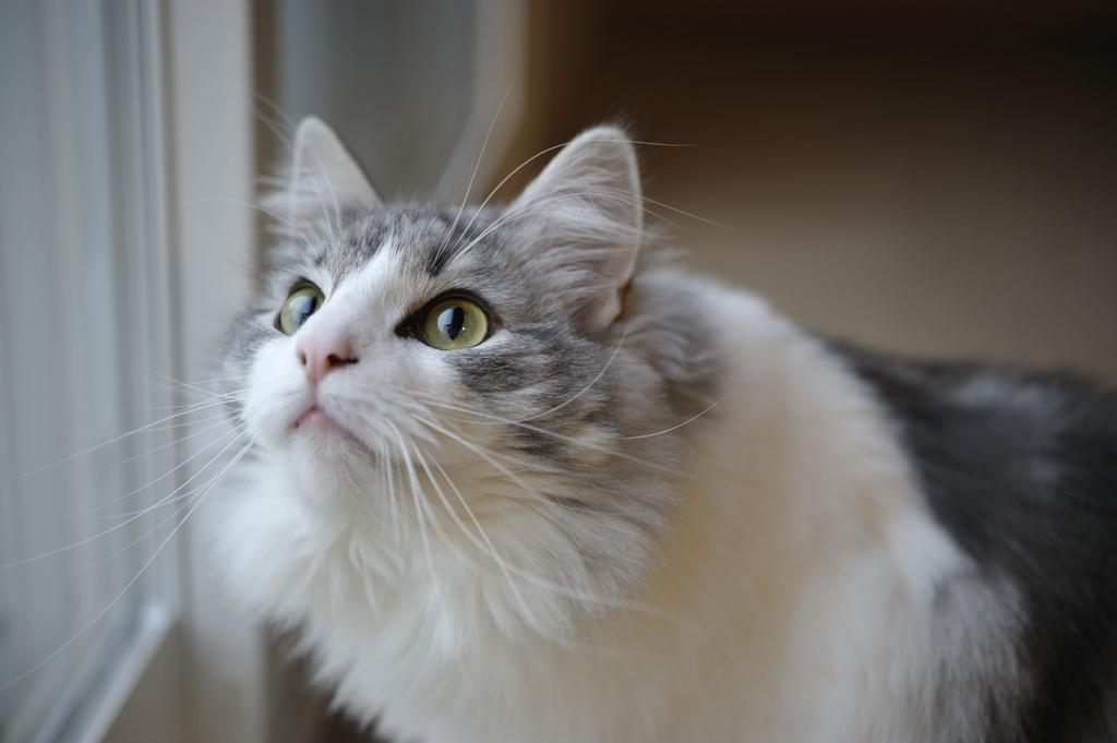 кошка норвежская