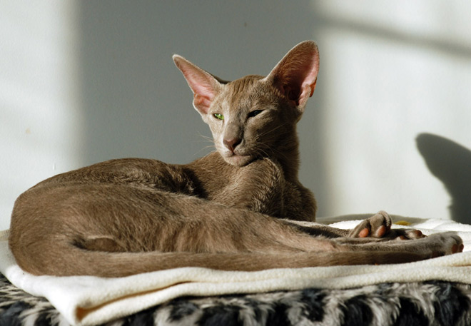 бурая ориентальная кошка