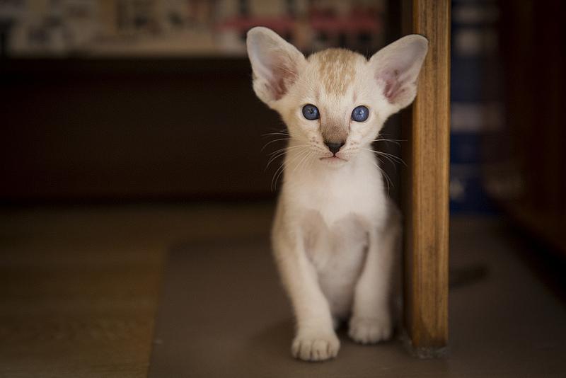 котик ориенатльной породы