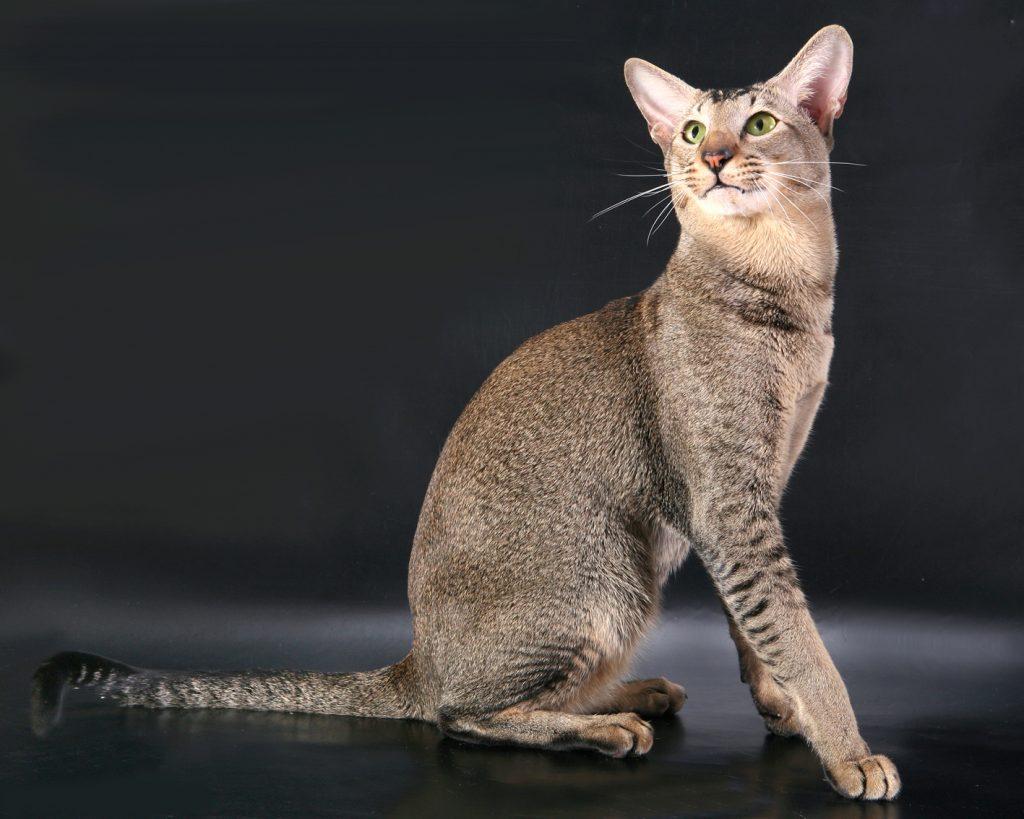 большая ориент кошка