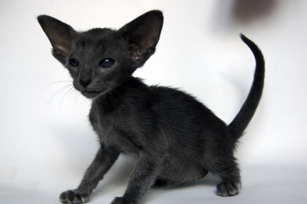 Характер ориентальной кошки покладистый, ласковый, она энергична и подвижна, чрезвычайно общительна, умна; легко обучается подходить, когда. Очень красива и разновидность ориентала окраса эбони – шерстяной покров таких кошек имеет насыщенный черный цвет, даже подушечки лап черные.