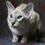 белая кошка породы ориентал